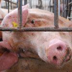 Prawda o mięsie wychodzi na jaw? Trucizna w mięsie! Czy naprawdę kochamy zwierzęta?