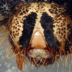 Wirus Zombie sprawia, że gąsienice eksplodują!