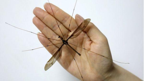 Największy na świecie komar został odkryty w Chinach!